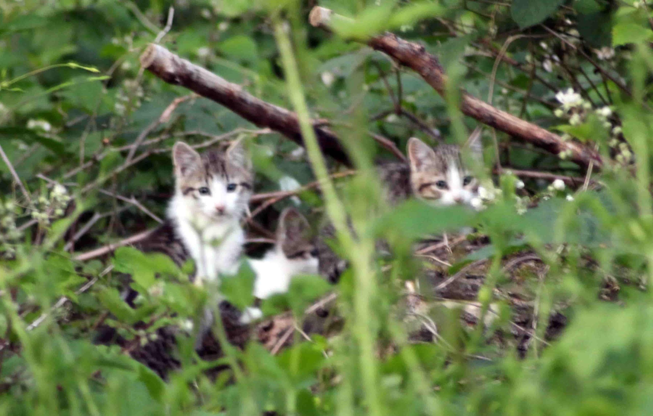 Drei Kätzchen in der Brombeerhecke
